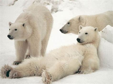 Bears White freedawn scientia in the of a polar