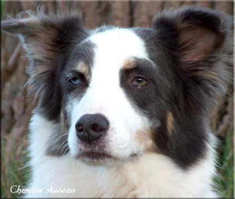 pattern white aussie fellfarben des australian shepherds bei www aussies