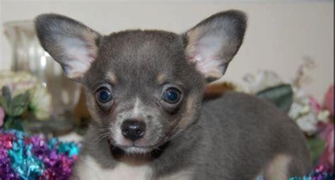 Blue Apple Head Chihuahua   www.pixshark.com   Images
