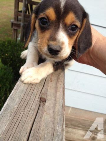 beagle puppies for sale in va adorable beagle puppies for sale in smithfield virginia classified americanlisted