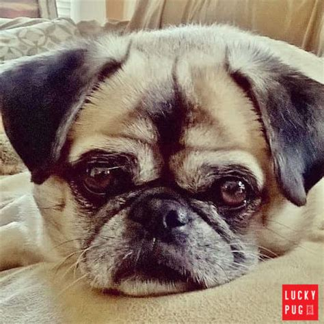 pug rescue sussex pug and pekingese puginese breeds picture