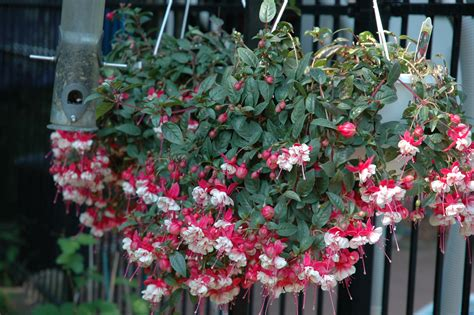 hanging flower baskets to attract hummingbirds wild about