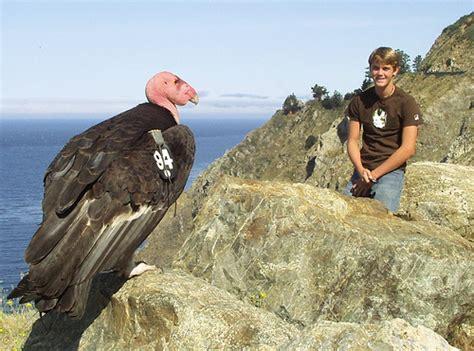 how big is a california condor big sur condor too close to highway flickr
