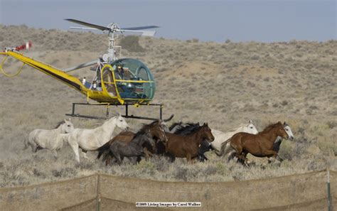 blm mustang roundup what blm roundups look like the equinest