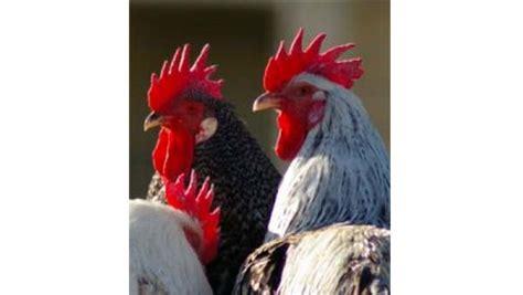 alimentazione polli alimentazione dei polli contro fratelli
