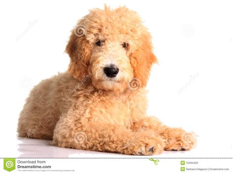 Goldendoodle Puppy Clipart