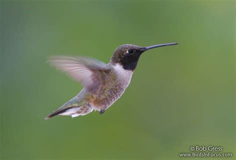 birds in focus black chinned hummingbird