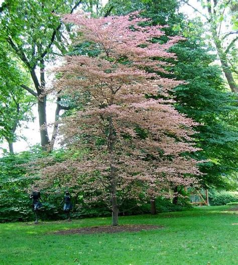 tri color beech tricolor beech tree fagus sylvatica roseo marginata