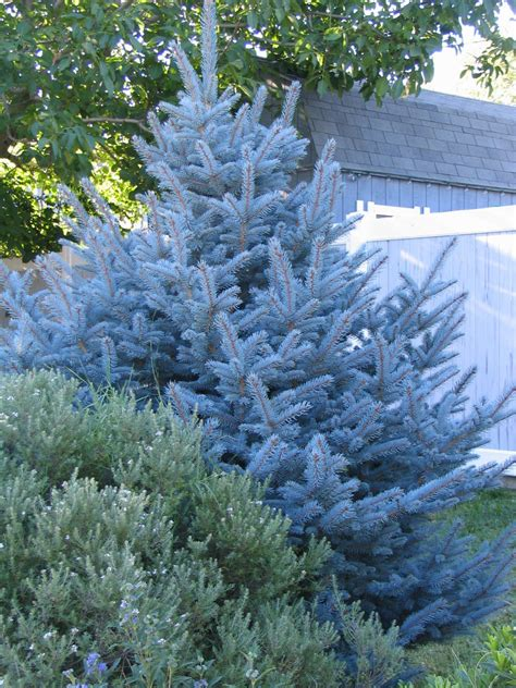 colorado blue spruce trees buy online at nature hills dwarf blue spruce woman sex
