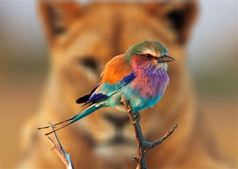 17 best images about lilac breasted roller on pinterest
