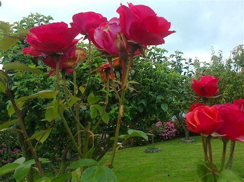 imagenes de jardines de rosas de colores el jard 237 n y la rosa por juan a galisteo luque