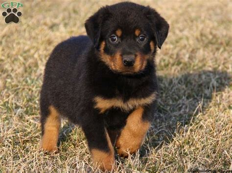 rottweiler breeders 25 best ideas about rottweiler puppies on baby rottweiler rottweiler