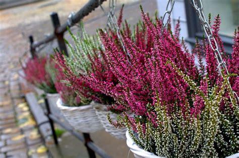 calluna vulgaris in vaso erica piante perenni erica pianta