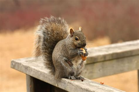 How To Get Rid Of Squirrels In The Backyard by How To Get Rid Of Squirrels From Your Attic Articleworld