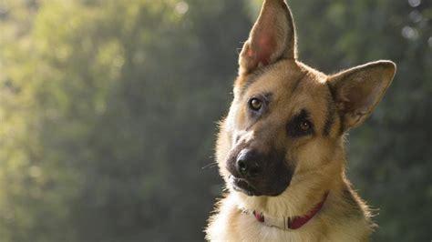los perros magicos de 0892391294 lo que ocurre con los perros polic 237 a cuando se jubilan o no dan la talla