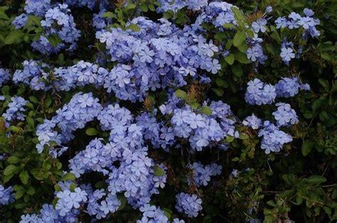 blue flowering shrubs in florida piante ricanti ricanti ricanti