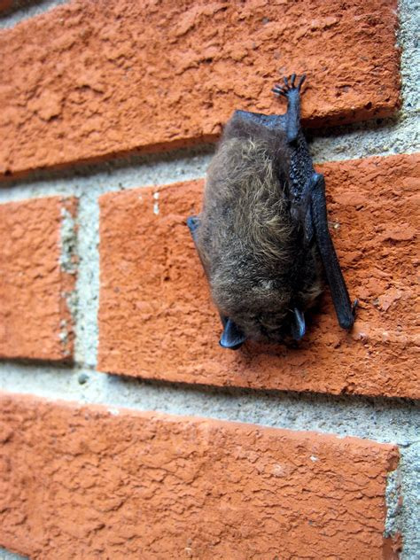 How To Get Rid Of Bats From Your Home Or Building Fun Times Guide To Home Building