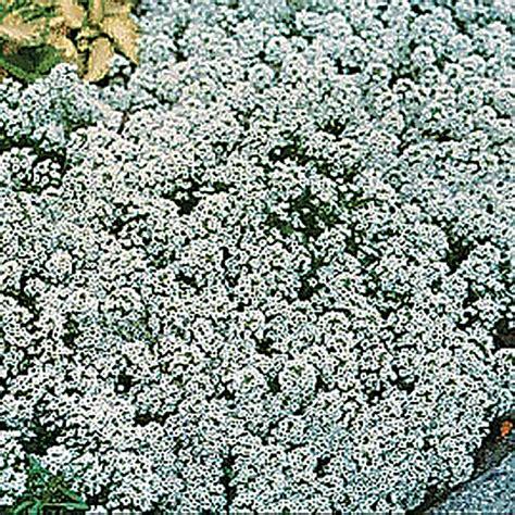 alyssum seeds carpet of snow 28 images 1000 white