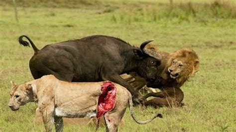 Be To Animals animal world terror attack forest buffalo