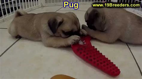 pugs for sale ebay pug puppies dogs for sale in miami florida fl 19breeders tallahassee