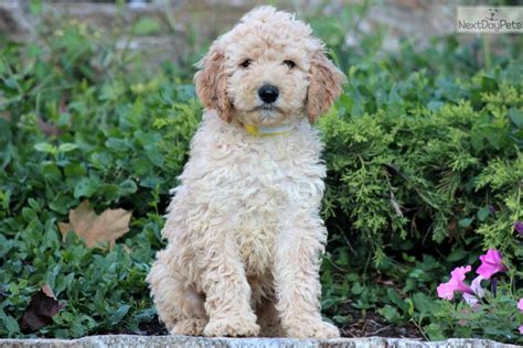 goldendoodle boy names meet hercules a goldendoodle puppy for sale for 850