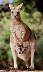 46 how did marsupials migrate from noah s ark to australia and the
