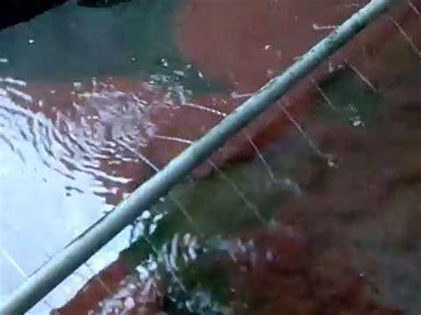 Cacing Untuk Lele proses panen budidaya cacing sutera untuk pakan lele