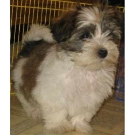 havanese rescue illinois homegrown havanese havanese breeder in upton massachusetts