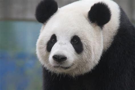 www panda pandas a beautiful gift from china to belgium