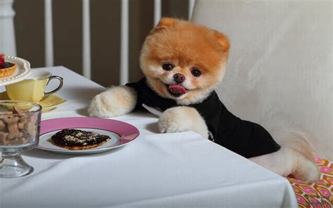how much should a pomeranian weigh how to take care of a pomeranian puppy pomeranian care guide
