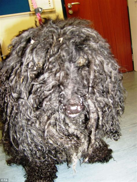 poodles long hair in winter miniature poodle doug had fur so matted that it left him