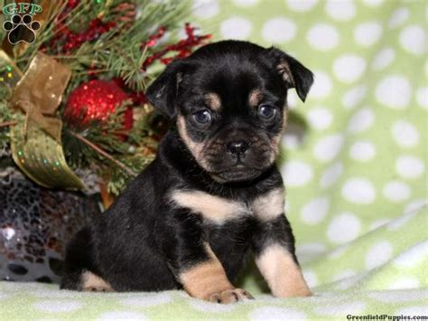 mini rottweiler puppies for sale in pa pin by brinton on puppies