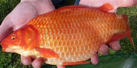 Pakan Ikan Lele Medan ikan merah bibitikan net