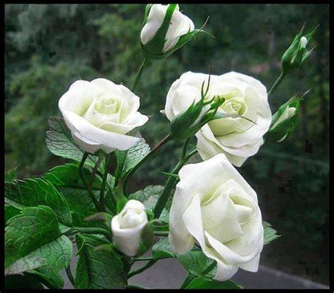 imagenes flores blancas rosas blancas con mariposas imagen de rosas rojas