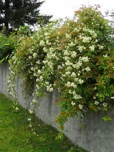 rosa banksiae lutea jardinecofriendly