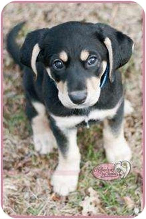 rottweiler puppies for adoption in ma jingles adopted puppy haverhill ma bluetick coonhound rottweiler mix