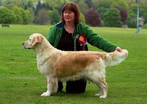 catcombe golden retrievers drumkilty golden retrievers dumfries dumfries and galloway united kingdom