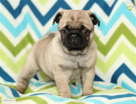 pug puppies for sale in pa pug puppy for sale in pennsylvania pugs pug for sale and puppies for sale