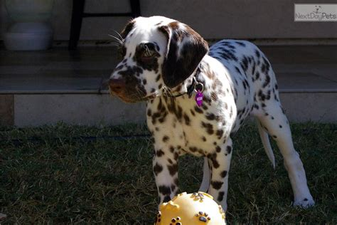 dalmatian puppies for sale az dalmatian for sale for 700 near arizona 8d045062 fd01