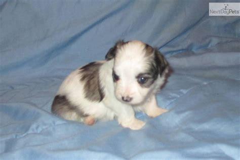 coton de tulear puppies for sale in nc coton de tulear puppy for sale near wilmington carolina b6b093c5 2f61