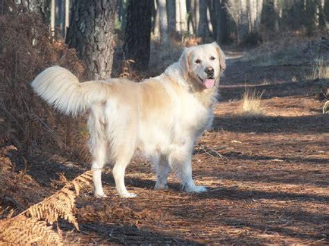 golden retriever vic chien elevage of s garden eleveur de chiens