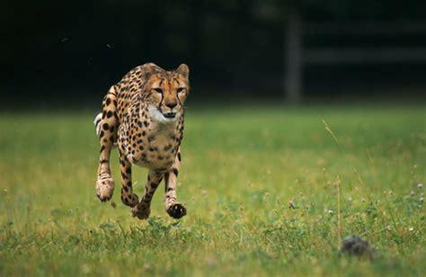 National Geographic 4 Yang Terkuat Di Darat cheetahs running in motion