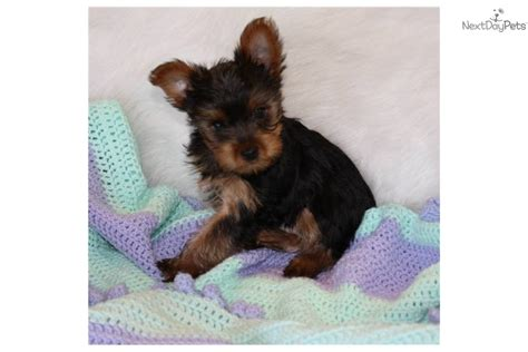 6 lb yorkie grown 5 pound yorkie breeds picture