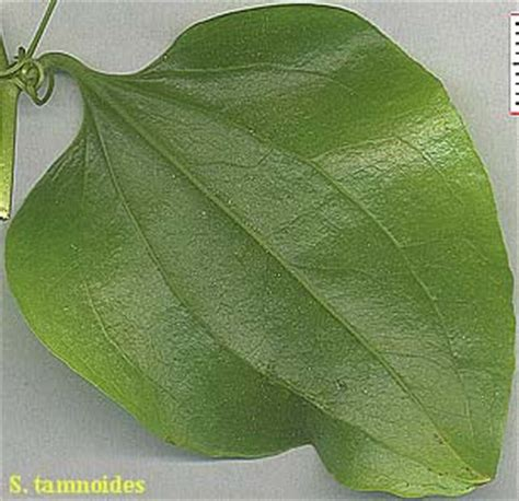 leaf pattern of dicots monocots