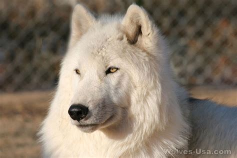white wolf puppies an all white wolf my wolf dogs