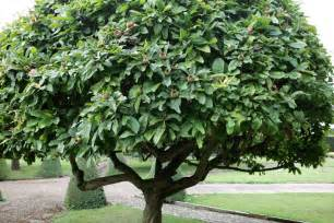 Pots For Climbing Plants - the medlar a strange but charming tree gardenista