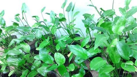 Lu Hias Panjang prospek laba dari tanaman liar penyembuh kanker 1