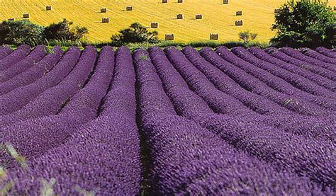 when is lavender in season in michigan 20 stunning pictures of lavender fields in