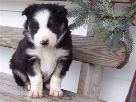 rottweiler puppies for sale in winston salem nc border collie puppies for sale akc marketplace