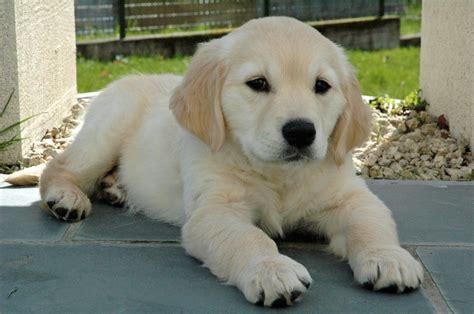 golden retriever retriever golden retriever pups pup kopen verkopen fokker kuurne west vlaanderen